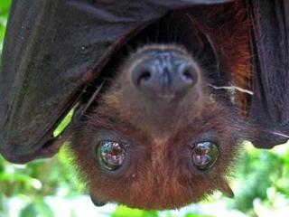 実は可愛い「コウモリ」の写真