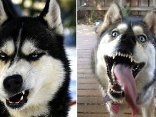 表情豊かすぎるハスキー、マラミュート犬の無敵な表情・ポーズ画像