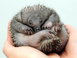 キモカワ赤ちゃんハリモグラの写真