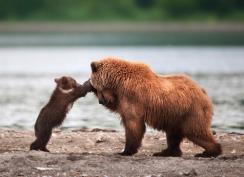 人間のように感情表現が豊かな自然の中の熊たちの写真
