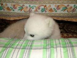 ホッキョクグマの赤ちゃんが民家に保護された時の可愛すぎる写真