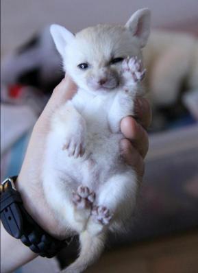 フェネックの赤ちゃんが成長していく姿が可愛すぎる写真