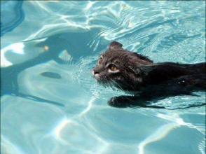 猫は実は泳げる事が判明した写真
