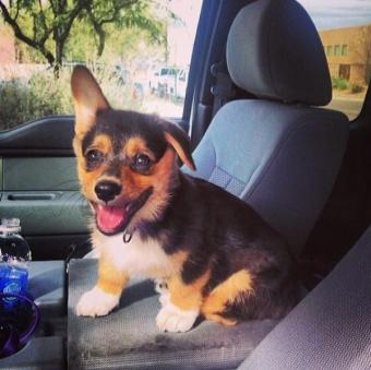 コーギー犬が本当に可愛すぎてヤバイ写真