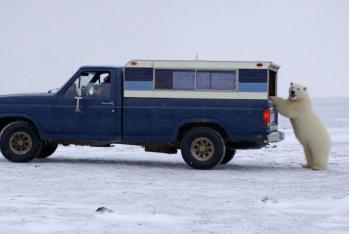 ホッキョクグマに車の点検された写真