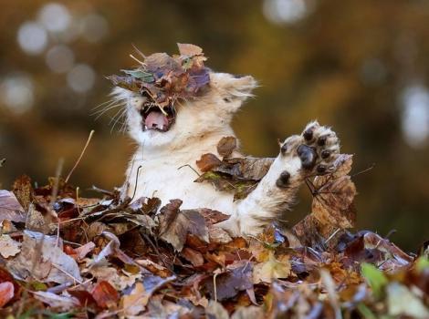 落ち葉にハイテンションになる子ライオンの写真