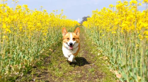 コーギー犬が可愛すぎる写真