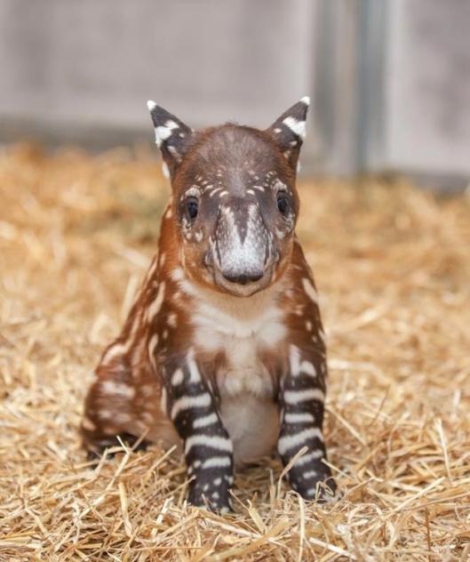 バクの赤ちゃんがマジで可愛すぎる写真