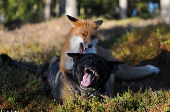 飼い犬と親友になった野生のキツネの写真