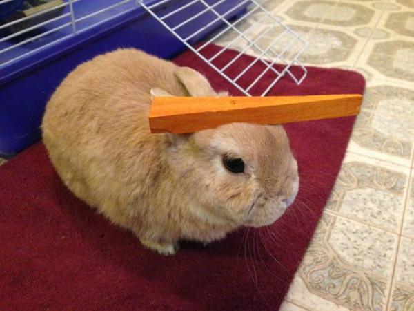 うちのウサギがおとなしいので頭にいろいろ乗せてみた写真