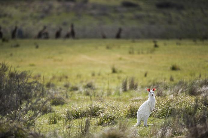 白いカンガルーのカッコいい写真