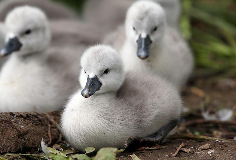 かわいい白鳥の子写真