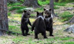 フィンランドの森で、コグマたちが輪になって踊る写真