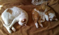 猫たちが同じ格好して寝ている写真